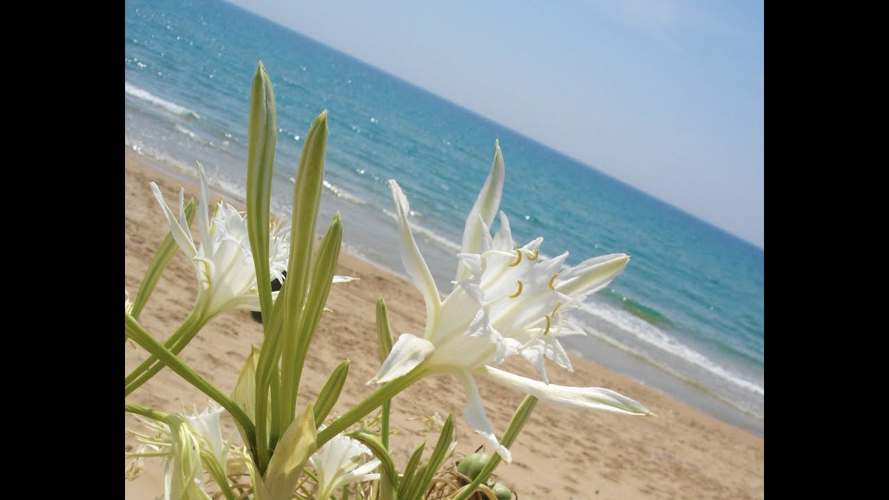 Giglio di mare pianta rara in via d 39 estinzione youtube for Pianta di more