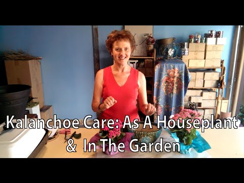 Kalanchoe Care: As A Houseplant & In The Garden - YouTube on taking care of begonias, taking care of wisteria, taking care of fuchsia, taking care of bromeliads, taking care of primrose, taking care of succulents, taking care of hydrangea, taking care of ferns, taking care of amaryllis, taking care of peace lily, taking care of asparagus, taking care of aloe, taking care of poinsettia, taking care of pansy, taking care of ivy, taking care of iris, taking care of phlox, taking care of clematis, taking care of orchids, taking care of philodendron,