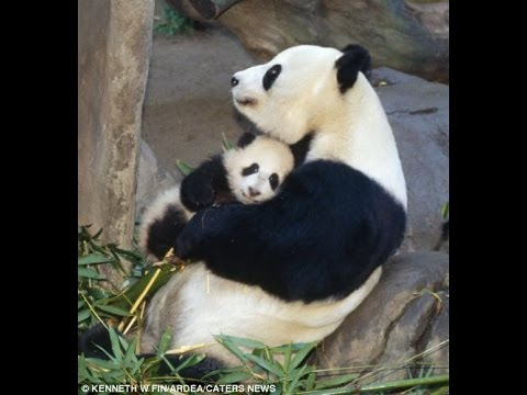 How is Panda Mom Take Care Baby Panda in The Wild