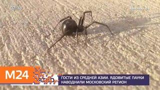 В столичном регионе завелись ядовитые пауки каракурты - Москва 24