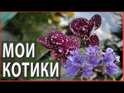 Удивительные растения семейства кошачьих. Кот баюн и дикий кот