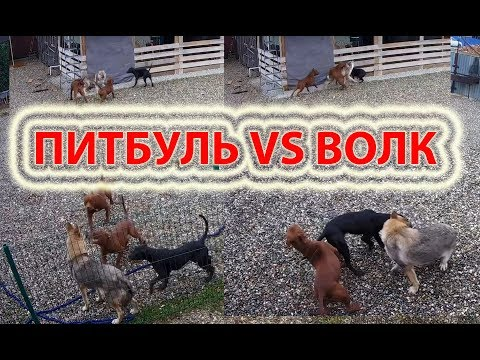 Питбуль против волка видео