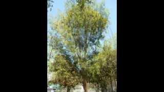 Plant ID: River She-Oak (Casuarina cunninghamiana) and Swamp Oak (Casuarina glauca)