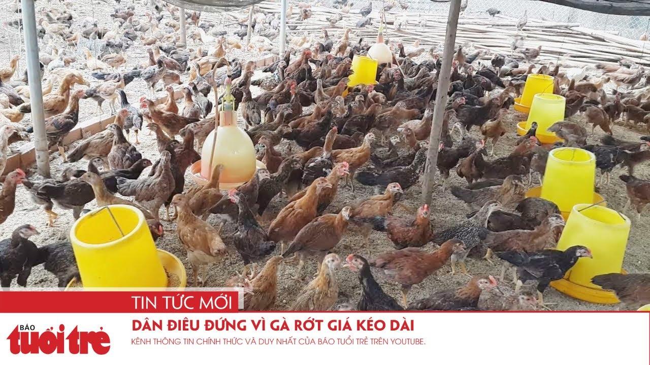 Dân điêu đứng vì gà rớt giá kéo dài