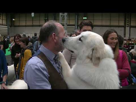 Pyrenean mountain dog in Crufts 2019