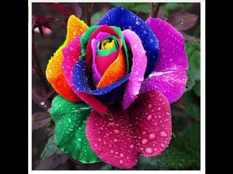 Посылка из Китая. AliExpress (37). Радужная роза