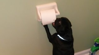 Cute Pug Unrolls The Toilet Paper