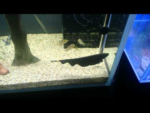 All About Ghost Knife Fish