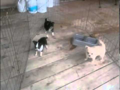 akc-chihuahua-black-and-white-long-coat-female