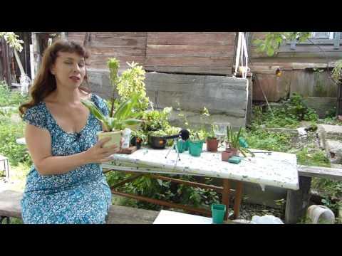 Эукомис экзотическое луковичное растение
