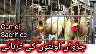 How to Sacrifice Camel Eid ul Adha 2020 | Camel Slaughtering