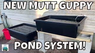 NEW MASSIVE MUTT GUPPY BREEDING FOR PROFIT POND SYSTEM!
