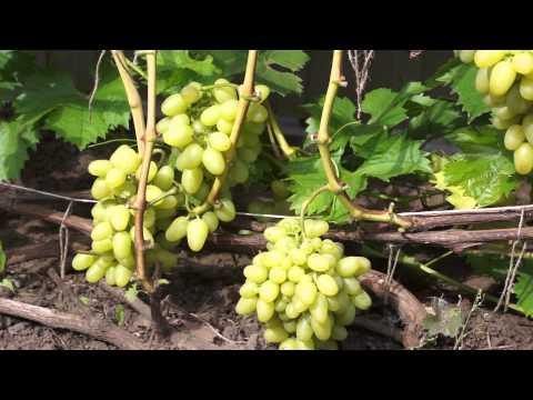 Сорт винограда Кишмиш лучистый фото, отзывы, описание