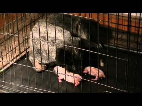 AKC Australian Cattle Dog mom in labor (Miley and Bentley Winter 2014)