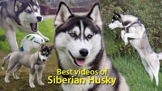 Best videos of Siberian Husky!  Huski  dogs