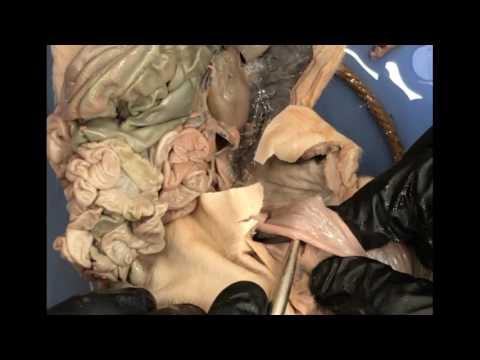 Fetal Pig Dissection Run Through