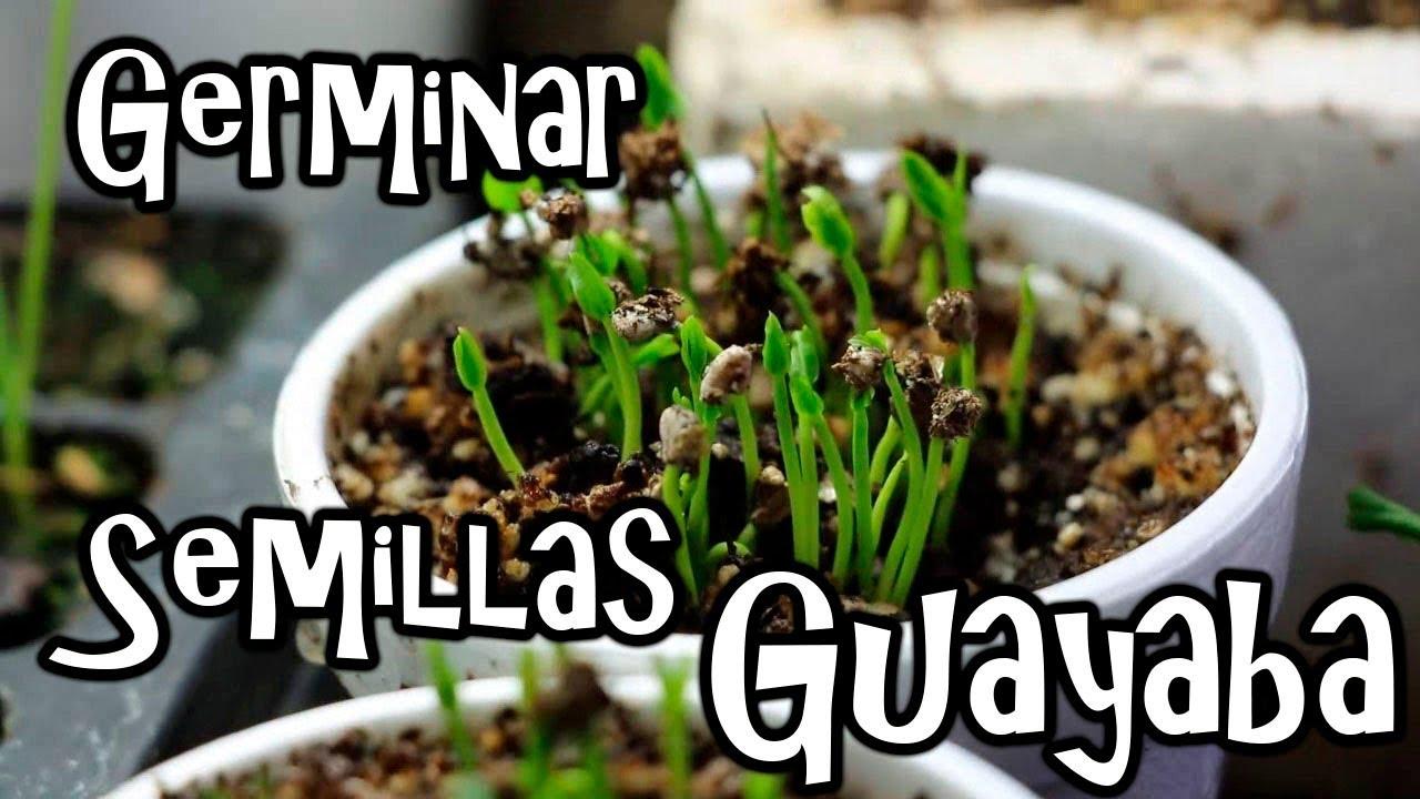 semillas de guayaba pera