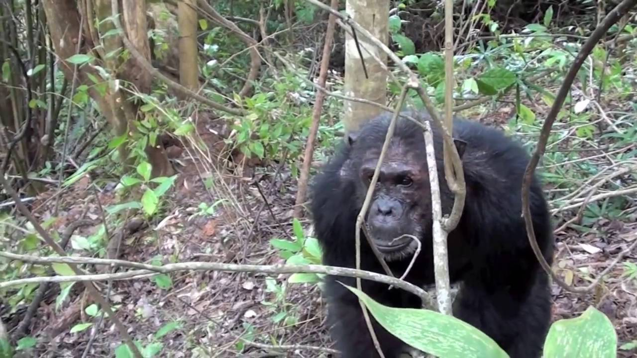 Tanzania Chimpanzee Experience with Outdoor Africa