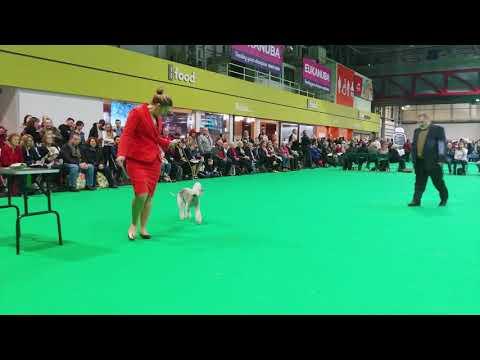 Crufts 2019 - Bedlington Terrier - Best of Breed