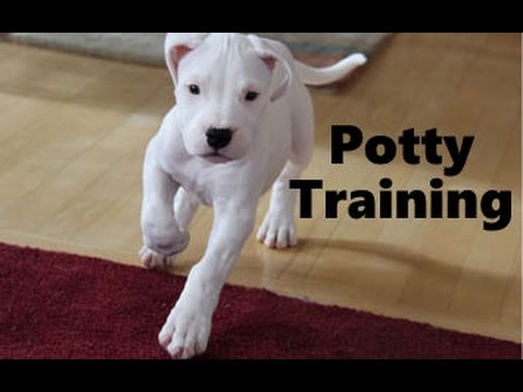 How To Potty Train A Dogo Argentino Puppy - Argentine ...