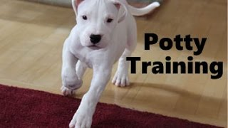 How To Potty Train A Dogo Argentino Puppy - Argentine Mastiff Training - Dogo Argentino Puppies