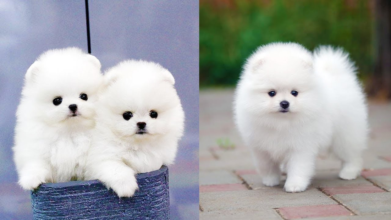 Cutest Mini Pomeranian Puppies Video Compilation