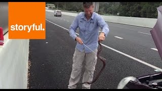 Redbellied black snake pops up from car engine (Storyful, Funny)