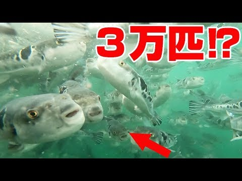 【衝撃】トラフグだらけの海にカメラを突っ込んでみた‼