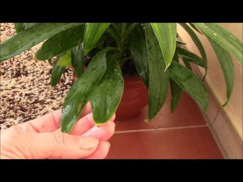 Почему сохнут кончики листьев у растений?Драцена.