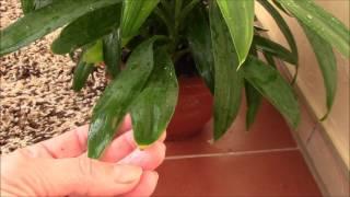 Почему сохнут кончики листьев у растений?Драцена.(Почему сохнут кончики листьев у растений? В чём причина? Это крик помощи - воздух в помещении сухой!! Драцена..., 2016-03-04T16:47:26.000Z)