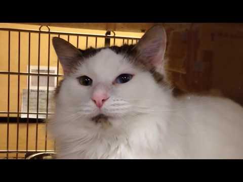 Hilda - Odd-Eyed Calico Cat (Turkish Van)