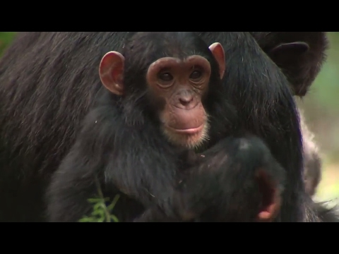 NASA Partners with Jane Goodall Institute to Protect Chimpanzees - Science at NASA