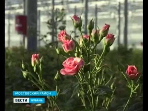 Голландские розы получили кубанскую прописку