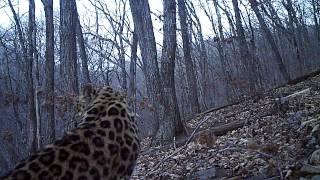 Дальневосточный леопард. Голос матери.