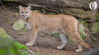 Oregon's first known fatal cougar attack in the wild