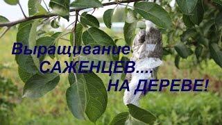 Выращивание САЖЕНЦЕВ....НА ДЕРЕВЕ!(Опять эксперимент. Новый способ выращивания саженца яблони. НА самом ДЕРЕВЕ! Давайте экспериментировать..., 2015-07-20T21:11:38.000Z)