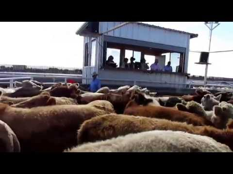 Columbus Cattle Auction Oct 2015  1 of 2