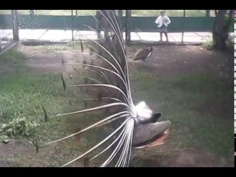 видео: песня павлина