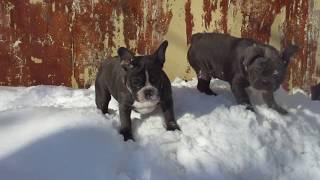 Девочка Французского бульдога голубого окраса Эмили на снежной горке