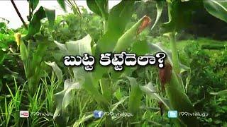 Maize || Corn Cultivation || Eruvaka | 21-04-2015 - 99tv