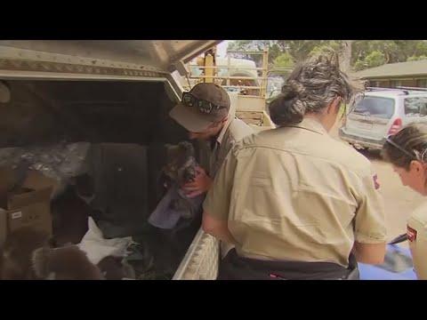 Residents Rescue Koalas From Australian Brushfires