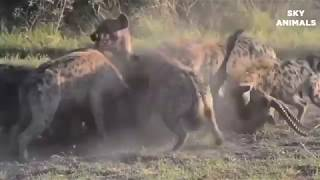 WILD DOG VS  LEOPARD FIGHT FOR FOOD