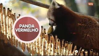 O Panda Vermelho | Animais | Zig Zag