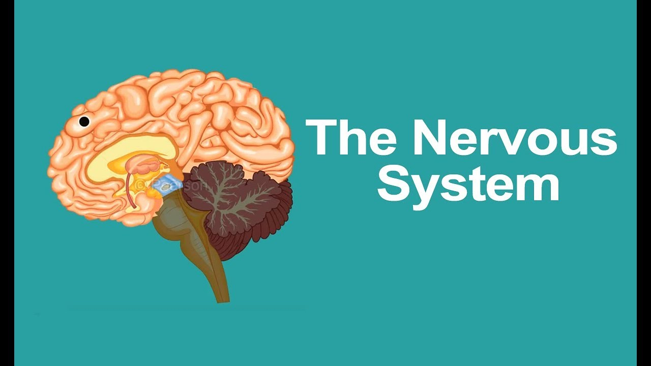 hight resolution of Class 5 Science   Human Nervous System