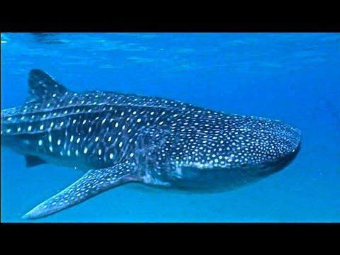 Walhai-Watch (Größter Fisch der Welt)