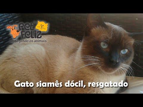 Segundo vídeo do Nescau, o gato siamês resgatado para adoção, dócil e lindo