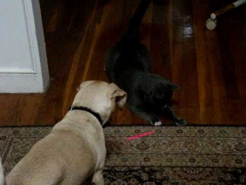 Cats and Dog playing with Laser Pointer