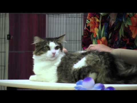 CFA Cat Show 2012 - Santa Monica, California