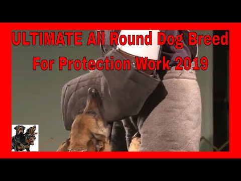 Belgian Shepherd Malinois - Ultimate All Round Dog Breed For Protection Work 2019