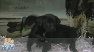 Labrador X Rottweiler Puppies